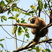 Female Hoolock Gibbon (Bret Charman)