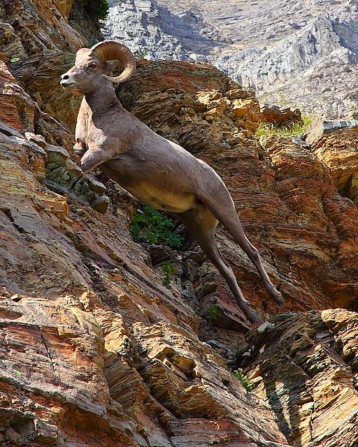 IMG_7296 Bighorn Sheep