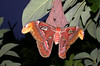 Attacus atlas.72