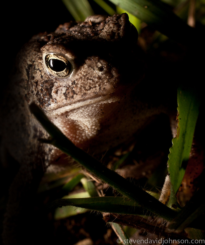 Portrait of a toad, Cootes Store, Virginia
