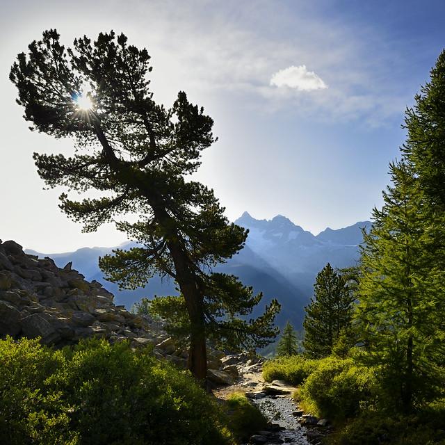 Stone pine and larches near Grüensee, Zermatt