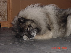 caucasian shepherd dog(0.0), german spitz(0.0), dog breed(1.0), animal(1.0), dog(1.0), pet(1.0), keeshond(1.0), carnivoran(1.0),