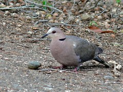 Red-eye Dove (Streptopelia semitorquata)