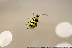 spotted yellow insect in a dusty glass
