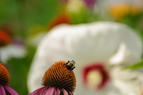 Bee Before Bokeh