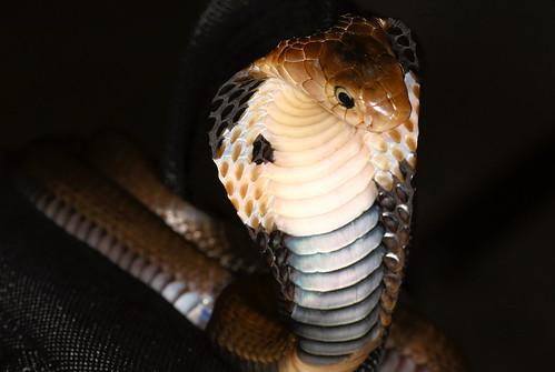 Cobra 5