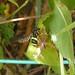 Small photo of Chrysotoxum bicinctum. Syrphidae.