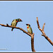 1516 coppersmith barbets