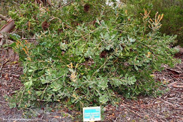 Banksia lemanniana - Lemann's Banksia