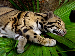 animal, big cats, zoo, mammal, fauna, ocelot, whiskers, wildlife,