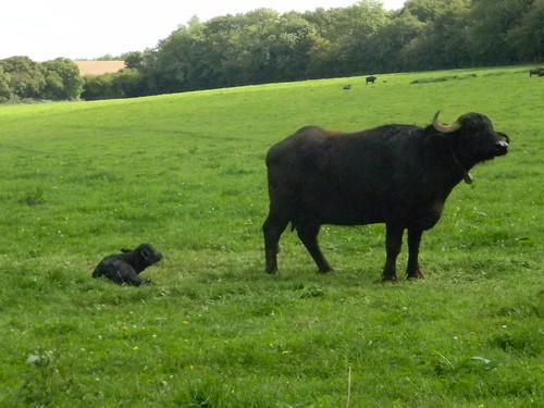 Bufalo and calf