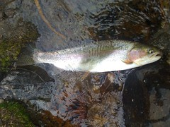 Rainbow Trout, Big Wood River, Idaho
