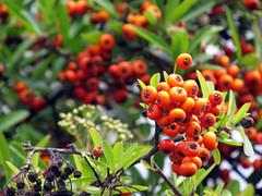 tropical milkweed(0.0), shrub(0.0), berry(0.0), flower(0.0), plant(0.0), hippophae(0.0), produce(0.0), food(0.0), evergreen(1.0), macro photography(1.0), flora(1.0), fruit(1.0), rowan(1.0),