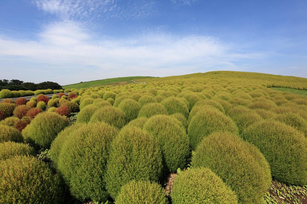 Burningbush / Kochia scoparia / 箒木(ホウキギ)
