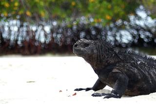 Marine Iguana (Amblyrhynchus cristatus) on Santa Cruz, Galapagos Islands