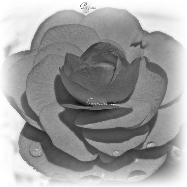 My Begonia in B&W