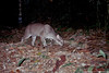 Camera trap image of an African golden cat