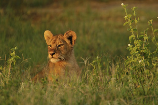 sunset lion cub