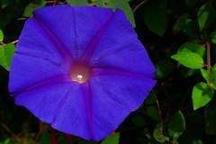 four o'clock flower(0.0), plant(0.0), four o'clocks(0.0), annual plant(1.0), ipomoea violacea(1.0), flower(1.0), leaf(1.0), purple(1.0), ipomoea alba(1.0), macro photography(1.0), flora(1.0), petal(1.0),
