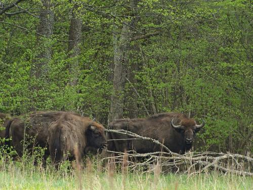 European Bison, Teremiski, Bia?owie?a Forest, Poland