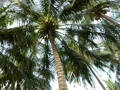 arecales, tropics, palm family, branch, tree, flora, produce, fruit, food,