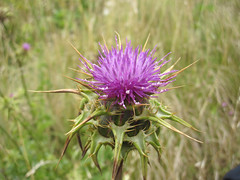 grass(0.0), bee balm(0.0), prairie(1.0), flower(1.0), thistle(1.0), plant(1.0), macro photography(1.0), flora(1.0), silybum(1.0), artichoke thistle(1.0),