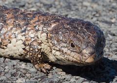 eastern diamondback rattlesnake(0.0), hognose snake(0.0), nile crocodile(0.0), sidewinder(0.0), animal(1.0), reptile(1.0), lizard(1.0), fauna(1.0), close-up(1.0), scaled reptile(1.0),
