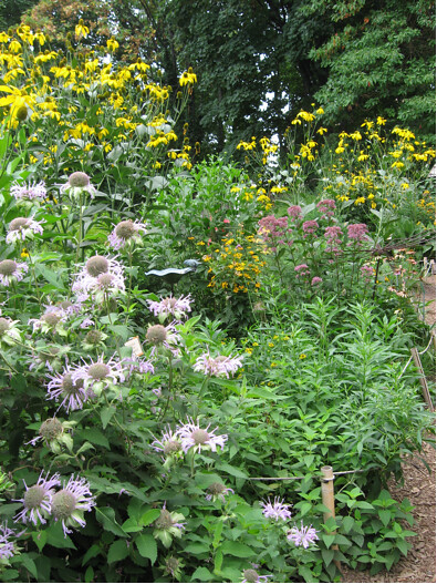 Wild bergamot (Monarda fistulosa), in the foreground, has fragrant leaves and flowers and a range of medicinal uses. Photo by Ashley Gamell.