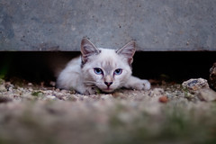 Photograph: Feral Cat #9; One of a group of feral cats living in the village of Neuillac, Charente, France. August 2011. By Simon Holliday.