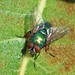 Blowflies - Photo (c) Fred's Uncle, some rights reserved (CC BY-NC-SA)