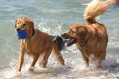 dog breed, animal, dog, pet, mammal, nova scotia duck tolling retriever, golden retriever,