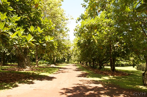 Kahanu Gardens entrance lined with breadfruit trees