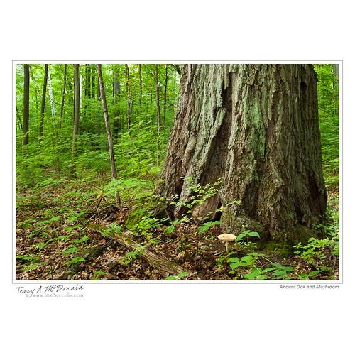 ontario canada nature landscape mushrooms maple oak scenery natural environmental fungus beech amanita lombardy deciduousforest smithsfalls rideaulakes leedscounty locationontario fungiagaric