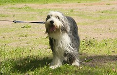 animal sports(0.0), lagotto romagnolo(0.0), lã¶wchen(0.0), south russian ovcharka(0.0), glen of imaal terrier(0.0), irish wolfhound(0.0), spinone italiano(0.0), bergamasco shepherd(0.0), collie(0.0), english shepherd(0.0), dog breed(1.0), animal(1.0), dog(1.0), romanian mioritic shepherd dog(1.0), pet(1.0), polish lowland sheepdog(1.0), tibetan terrier(1.0), schapendoes(1.0), havanese(1.0), old english sheepdog(1.0), catalan sheepdog(1.0), cã£o da serra de aires(1.0), carnivoran(1.0),