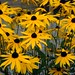 Yellow Coneflower - Photo (c) Dietmut  Teijgeman-Hansen, some rights reserved (CC BY-NC-ND)
