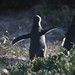 Cape Penguins on Boulders Beach by RachelF2SEA