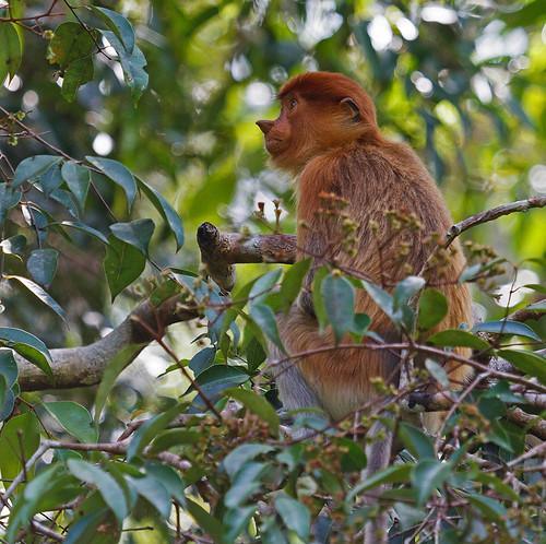 Proboscis monkey (Nasalis larvatus) Näsapa