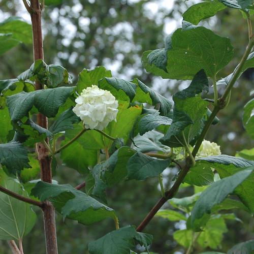20110830 viburnum by het groene kamertje