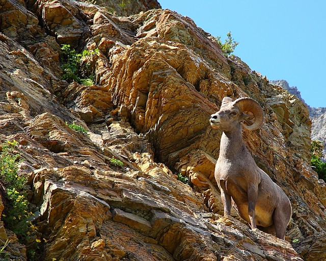 IMG_7302 Bighorn Sheep