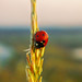 Ladybug Against The Horizon