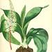 Flora medica, oder, Abbildung der wichtigsten officinellen Pflanzen