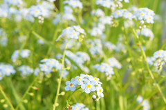 flower, plant, macro photography, herb, wildflower, flora, forget-me-not, meadow,