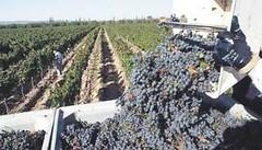 Vendimia: Menos uvas pero con buena calidad mientras, el hemisferio norte se recupera