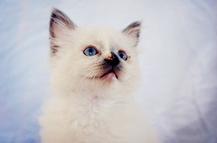 animal, kitten, small to medium-sized cats, ragdoll, cat, carnivoran, whiskers, balinese, birman, himalayan,