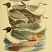 Johann Andreas Naumann's ... Naturgeschichte der Vögel Deutschlands, nach einigen Erfahrungen entworfen. 13.T.Plates