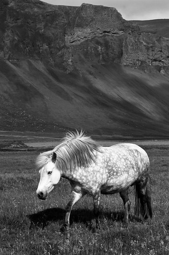 Icelandic Horse with landscape (B&W)