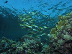School of snappers, Elphinstone Reef, Red Sea, Egypt