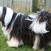 Tibetan Terrier 2 by Ina's Pics