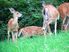 Fawns With Adult Deer (Whitetail)
