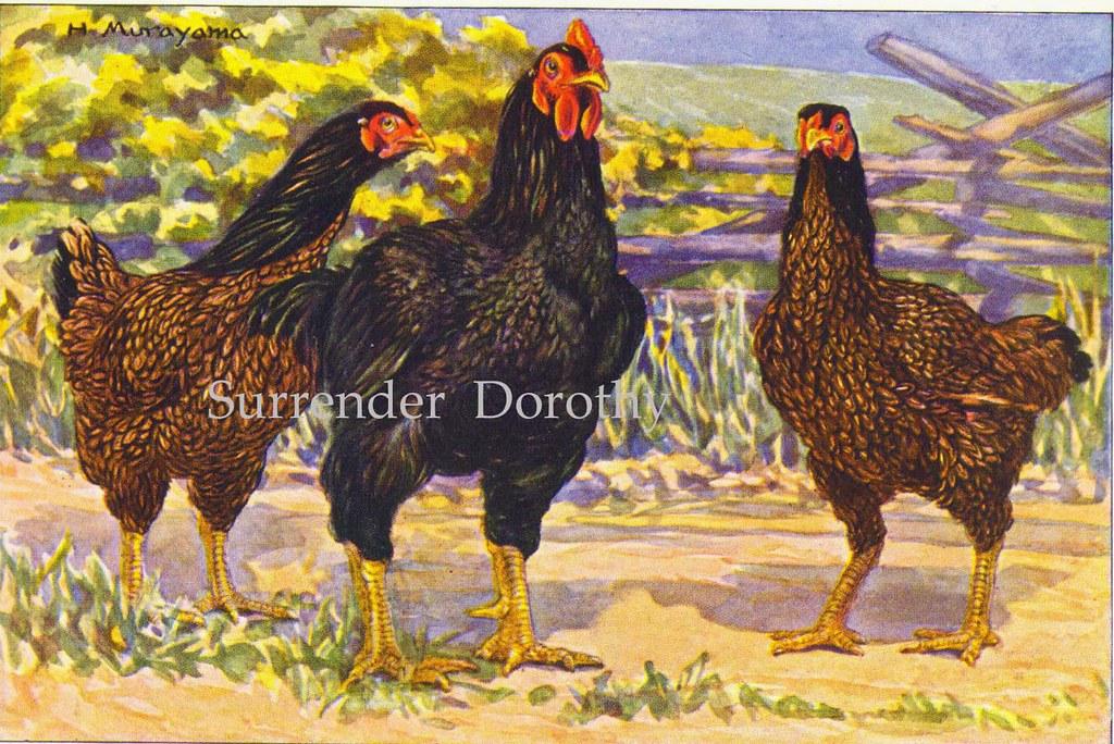 Dark Cornish Chicken Dark Cornish Chickens Hashime